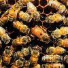 Българският пчелен генофонд на прага на замърсяване